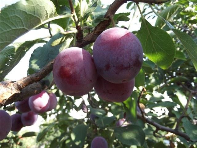 Intawi for Arbol ciruelo de jardin